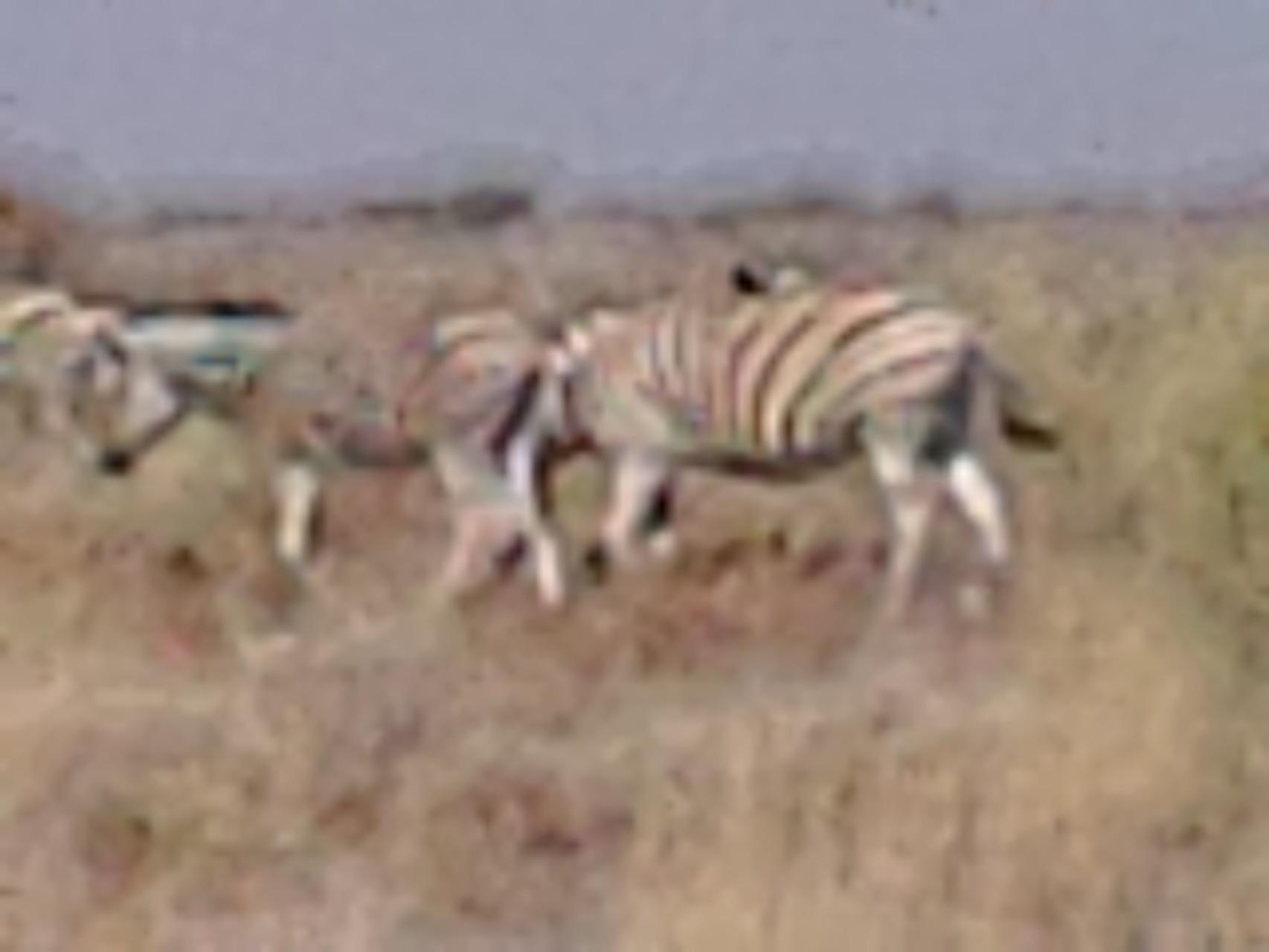 Blackpied, sheep, zebras